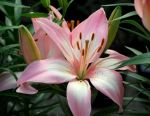Pink Fragility Daylily for Prints by FlowerFreak