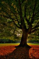Sunrise behind the beech tree by Shanec86