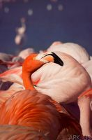 Flamingo by Arkus83