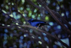 Valiant Honeycreeper by Kendra-Paige