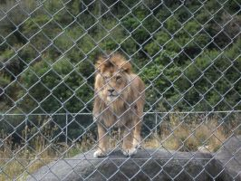 Lion Behind Fence 03 by Qiwi-Stock