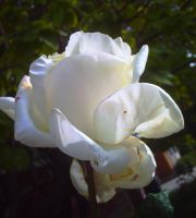 White Rose by flamingpig