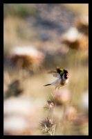 Goldfinch by niso14