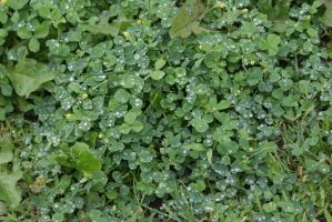 Rain on Clover 06/18/2015 by tessabe