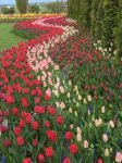 Waves of tulips by ladybugue