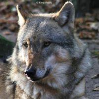 Europaeischer Grauwolf (Canis lupus lupus) 14 by bluesgrass