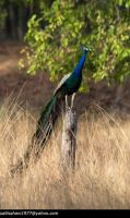 Indian Peafowl - Peacock by SalilSSahani