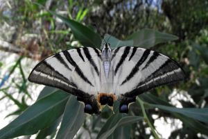 Scarce Swallowtail (Iphiclides podalirius) by BlizzardFace