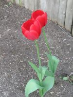 twin red tulips by crazygardener