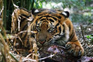 Sumatran Tiger - This is mine by Sabbie89
