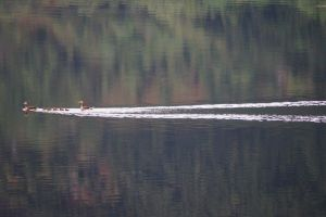 Greylag Geese on Loch Duich by wallace1298