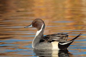 Pintail on the lake by ruthj03