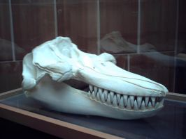 Orca Skull by OrcaAmy