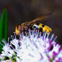 Hover fly??????? by cybertaff