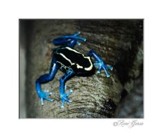 Dyeing Poison Dart Frog by elshorty