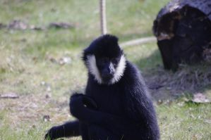 northern white-cheeked gibbon by Pschokid