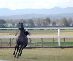 GE Arab filly grey going from canter to stop front by Chunga-Stock