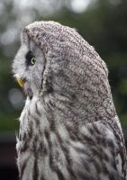 Great Grey owl (Strix nebulosa lapponica) by Steve-FraserUK