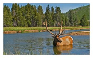 River Forge- Bull Elk by tourofnature