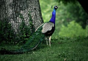 Peacock by TlCphotography730