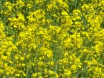 Canola Field 2 by catluvr2