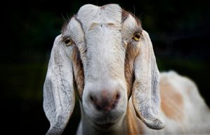 goat stare by b-rooks