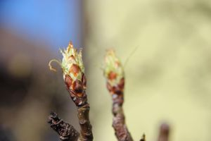 pear tree bud by Vyalia