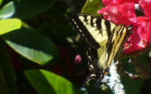 Butterfly On Rhododendron by PamplemousseCeil