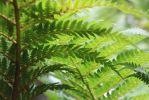 Rainforest Fern by TicTacTical