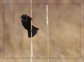 RedWinged Blackbird on Reed by barcon53