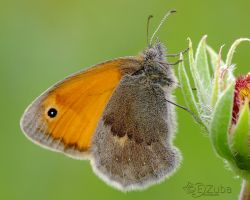 .:Coenonympha pamphilus:. by efeline