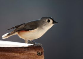 Tufted Titmouse no. 1 by Mischi3vo