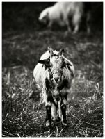 The Goat by Misantropia