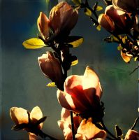 Magnolias24 by horstdesign