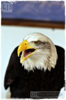 Bald Eagle I by lucicerious
