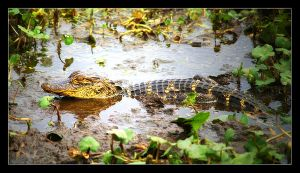 Baby alligator by hfs991hfs