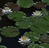 White Water Lilies Of Rieve's Pond by Matthew-Beziat