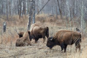 Plains Bison-Awaiting Spring by JestePhotography
