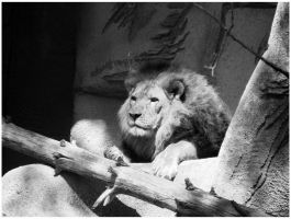 Lion BW by neurotic-imaging