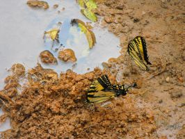 Tiger Swallowtails by XiaAmane