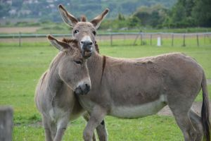 Cuddles of mother and daughter donkeys by A1Z2E3R