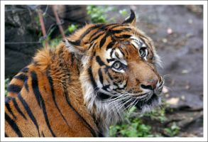 Tiger - 2303 by eight-eight