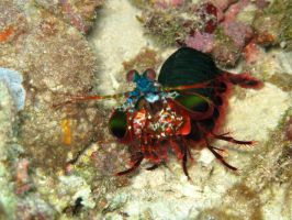 The Mantis Shrimp by Cicciobello-BoBo