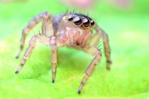 Jumping spider by Goshinsky