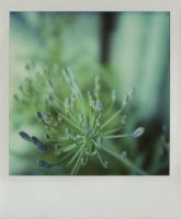 2.agapanthus by hello-ken1