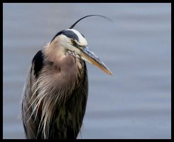 Portrait of a Blue Heron by darthpayback