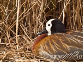 White faced whistling duck  - Mar 12 by mszafran