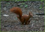 Squirrel by Ute2091