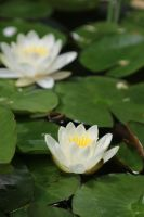 Water lily Stock 06 by Malleni-Stock