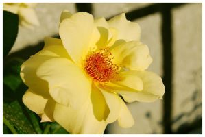 Yellow rose 2 by cipriany